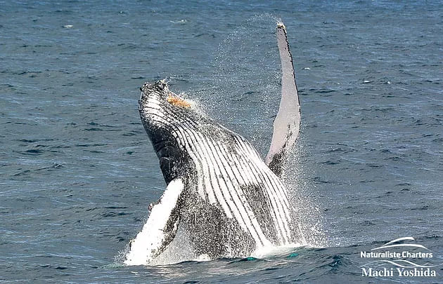Close up photo of a whale jumping