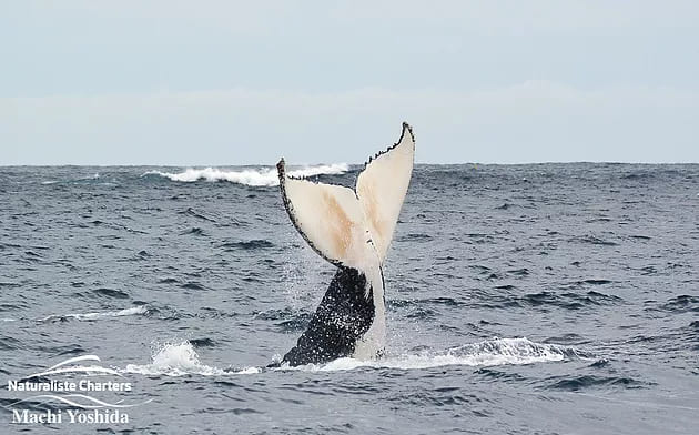 Humpbacks hitting our south-west coastline in Feb/March