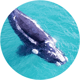 Augusta Whale Watching Blurb Image2