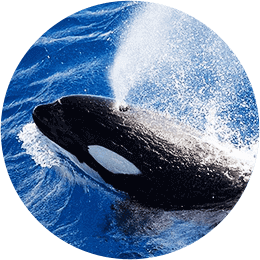 Killer Whale Expeditions Blurb Image2
