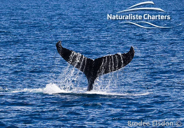 A whale showing its big tail