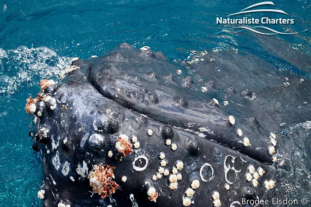 Close photo of a whale with barnacles