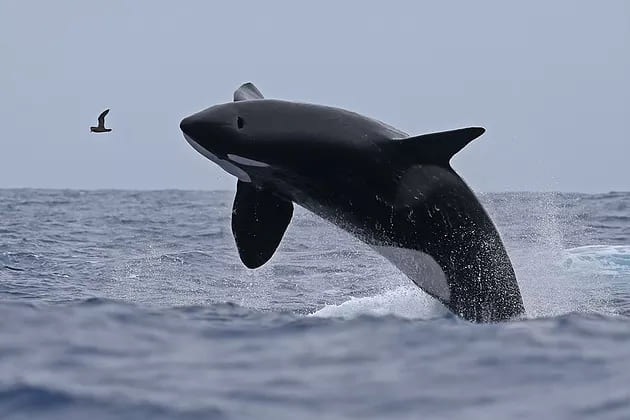 A photo of a killer whale shooting out of the water with a bird
