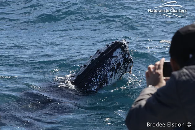 , The first week of whale watching in Geographe Bay! Dwarf Minkes, Blue whales AND ORCA attacks!
