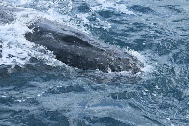, Whale Watching Tours – Augusta and Albany