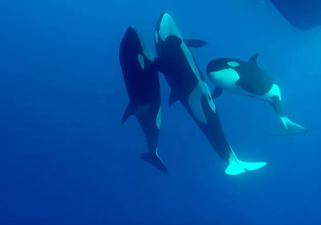 A pod of killer whales