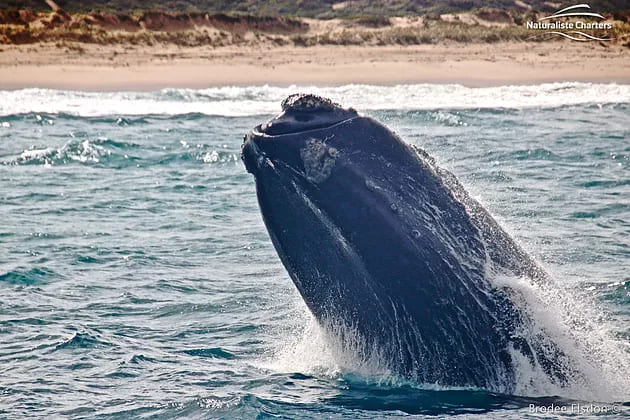 Whale thats a WRAP for the WA northern migration!
