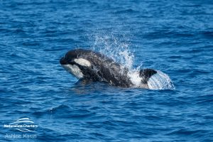 Small Orca Whale