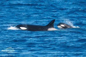 Killer Whale Watching