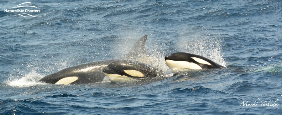 Pirouette Playing Orca