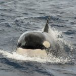 Killer Whale Head On Photo