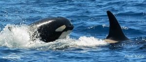 Orcas playing around