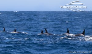 Orca Whale Watching in Bremer Canyon - February 15, 2020 - 29