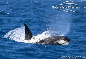 Orca Whale Watching in Bremer Canyon - February 15, 2020 - 16