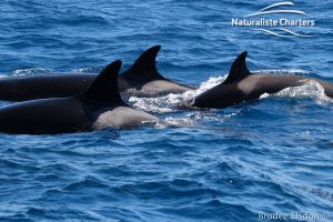 Orca Whale Watching in Bremer Canyon - February 15, 2020 - 26 width=