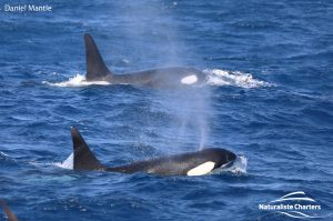 Orca Watching Tours in Bremer Canyon - February 17, 2020 - 5