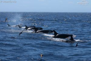 Orca Whale Watching in Bremer Canyon - February 15, 2020 - 40