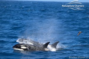 Orca Whale Watching in Bremer Canyon - February 15, 2020 - 21