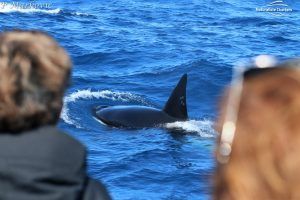 Orca Whale Watching in Bremer Canyon - February 15, 2020 - 42