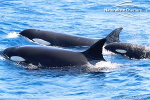 Orca Whale Watching in Bremer Canyon - February 15, 2020 - 25