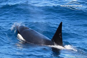 Orca Whale Watching in Bremer Canyon - February 15, 2020 - 33