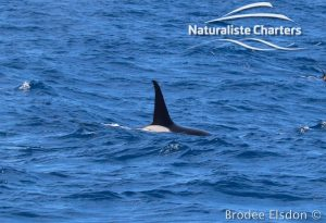 Orca Whale Watching in Bremer Canyon - February 15, 2020 - 6