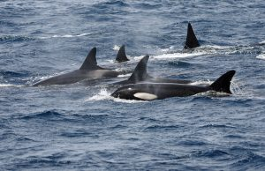 Group of Orcas protecting the calf