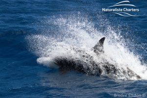 Orca Whale Watching in Bremer Canyon - February 15, 2020 - 15