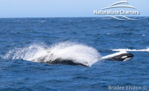 Orca Whale Watching in Bremer Canyon - February 15, 2020 - 11