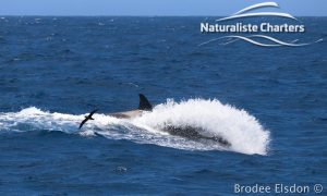 Orca Whale Watching in Bremer Canyon - February 15, 2020 - 14