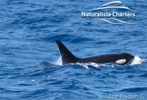 Orca Whale Watching in Bremer Canyon - February 15, 2020 - 7