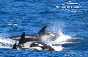 Orca Whale Watching in Bremer Canyon - February 15, 2020 - 19