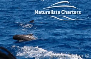 Orca Whale Watching in Bremer Canyon - February 15, 2020 - 23