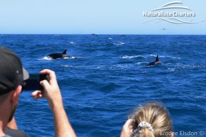 Orca Whale Watching in Bremer Canyon - February 15, 2020 - 24