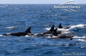 Orca Whale Watching in Bremer Canyon - February 15, 2020 - 31