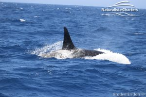 Orca Whale Watching in Bremer Canyon - February 15, 2020 - 17