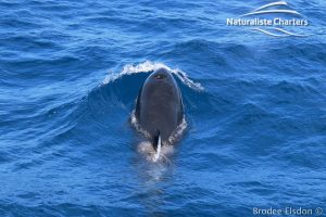 Orca Whale Watching in Bremer Canyon - February 15, 2020 - 10