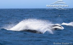 Orca Whale Watching in Bremer Canyon - February 15, 2020 - 12