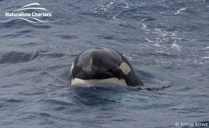 Orca Whale Watching in Bremer Canyon - February 26, 2020 - 6