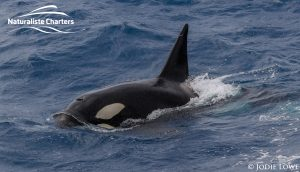 Orca Whale Watching in Bremer Canyon - February 26, 2020 - 7