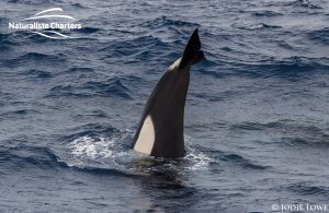 Orca Whale Watching in Bremer Canyon - February 26, 2020 - 8