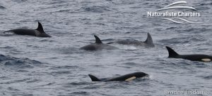 Killer Whale (Orca) Watching in Bremer Bay - February 23, 2020 - 2