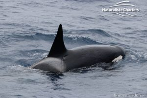 Killer Whale (Orca) Watching in Bremer Bay - February 23, 2020 - 3