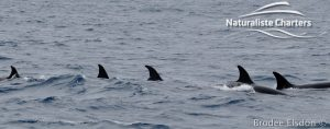 Killer Whale (Orca) Watching in Bremer Bay - February 23, 2020 - 5