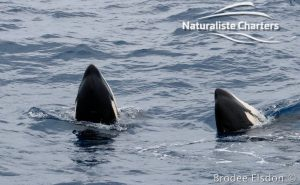 Killer Whale (Orca) Watching in Bremer Bay - February 23, 2020 - 7