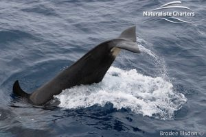 Killer Whale (Orca) Watching in Bremer Bay - February 23, 2020 - 9
