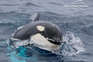 Killer Whale (Orca) Watching in Bremer Bay - February 23, 2020 - 11