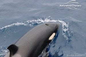Killer Whale (Orca) Watching in Bremer Bay - February 23, 2020 - 12