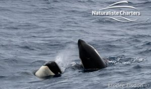 Killer Whale (Orca) Watching in Bremer Bay - February 23, 2020 - 13