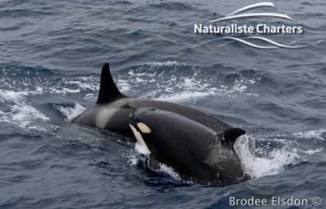 Killer Whale (Orca) Watching in Bremer Bay - February 23, 2020 - 14